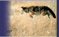 Jumping Coyote